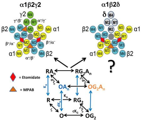 Comparison of αβδ and αβγ GABAA receptors: Allosteric modulation and identification of subunit arrangement by site-selective general anesthetics.